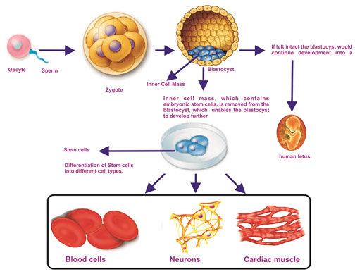stemcell1.jpg