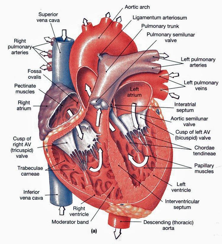 anatomy of heart.jpg